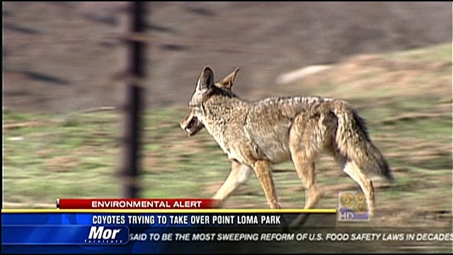 Station Park Honda >> Coyotes trying to take over Point Loma park - CBS News 8 - San Diego, CA News Station - KFMB ...