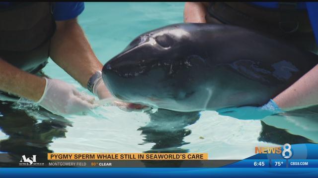 Auto Care Center >> Pygmy sperm whale still in SeaWorld's care - CBS News 8 - San Diego, CA News Station - KFMB ...