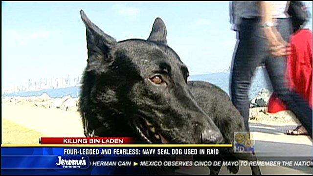 Four Legged And Fearless Navy Seal Dog Used In Raid Cbs News 8 San Diego Ca News Station