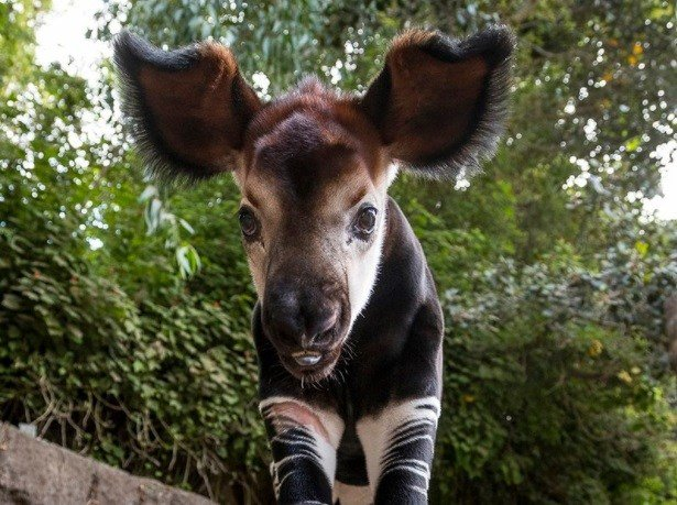 First Okapi Born At The San Diego Zoo In Four Years Cbs