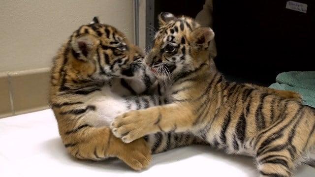 San Diego S Smuggled Tiger Cub Gets A Friend Cbs News 8