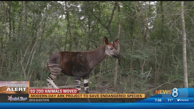 National Business Group On Health >> San Diego Zoo animals moved as part of modern-day ark project - CBS News 8 - San Diego, CA News ...