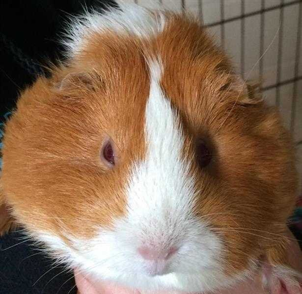 Watch a guinea pig sex