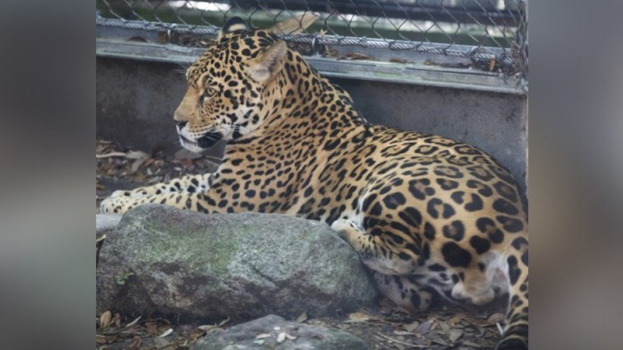 SAN DIEGO (NEWS 8) U2013 A Horrifying Scene At The Zoo In New Orleans Over The  Weekend After A Jaguar Escaped From Its Enclosure And Killed Several  Animals ...