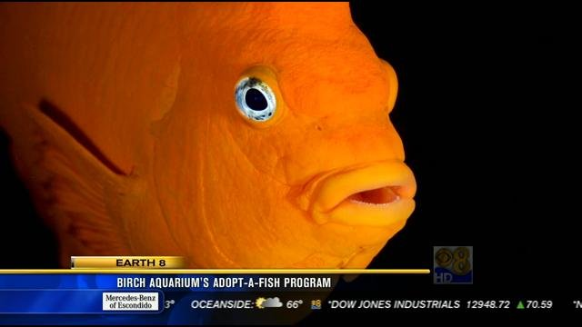 Birch aquarium 39 s adopt a fish program cbs news 8 san for Adopt a fish