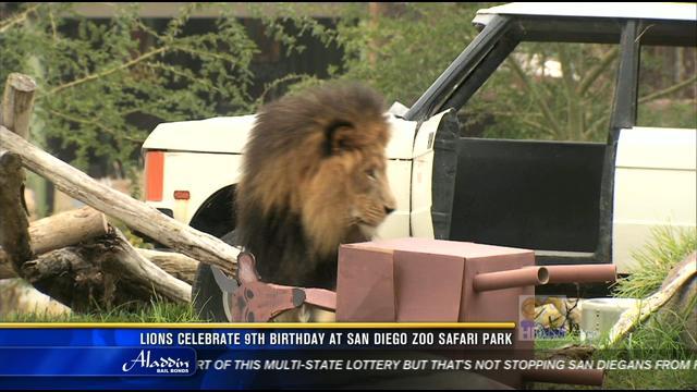 Lions Celebrate 9th Birthday At San Diego Zoo Safari Park Cbs News 8 San Diego Ca News