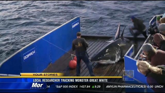 local researcher tracking monster great white shark