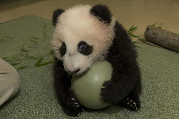 Giant Panda Channel The Giant Panda Cub at The