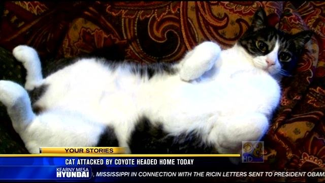 Cat Attacked By Coyote Returns Home Cbs News 8 San