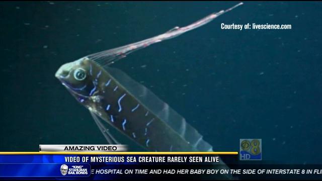 Amazing Video Mysterious Sea Creature Rarely Seen Alive Cbs News 8 San Diego Ca News