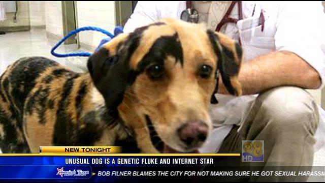 Chimera genetics dog