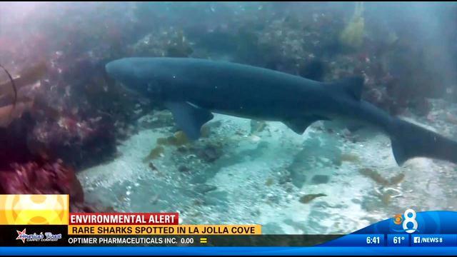 rare sharks spotted in la jolla cove - cbs news 8