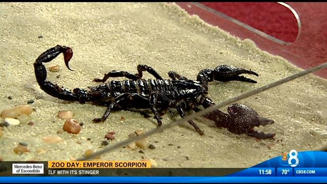 zoo day  emperor scorpion - cbs news 8