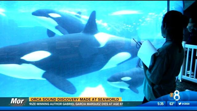 Discovery Channel Shows >> Orca sound discovery made at SeaWorld San Diego - CBS News ...