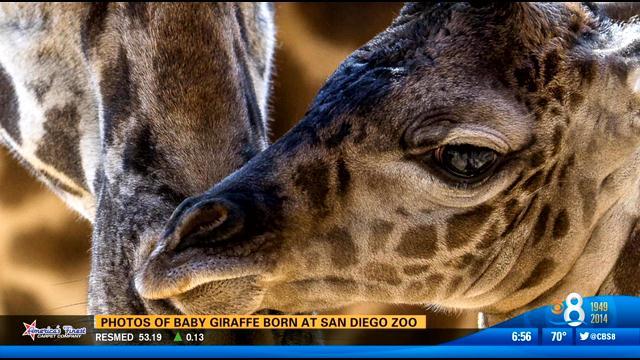 Photos Of Baby Giraffe Born At San Diego Zoo Cbs News 8