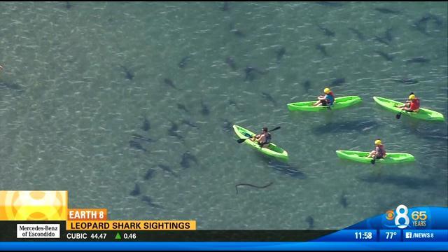 East Coast Auto >> Leopard shark sightings off San Diego coast - CBS News 8 ...