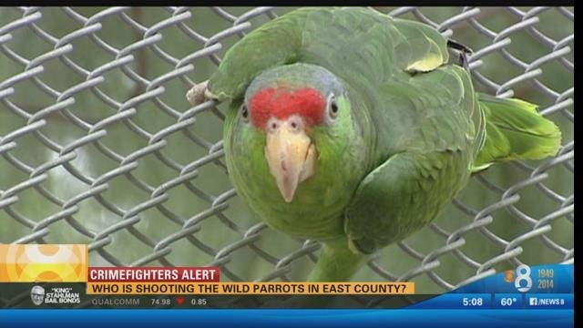 Honda Of Florence >> Who's shooting the wild parrots in East County? - CBS News ...