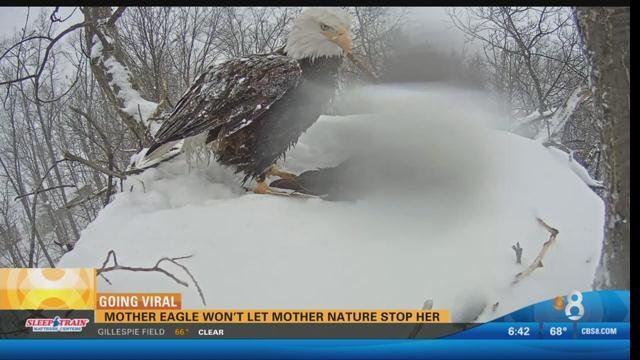 Mother eagle won\'t let Mother Nature stop her - CBS News 8 - San ...