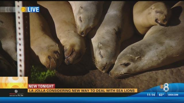 La Jolla considering new way to deal with sea lions - CBS ...