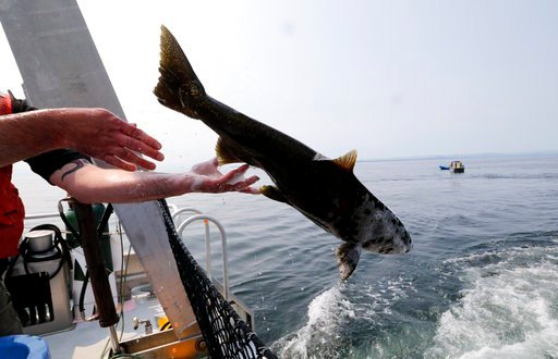Live chinook salmon aboard the King County Research Vessel SoundGardian are released into waters off San Juan Island, Wash, as a young female orca called J50 was not in the area on Friday Aug. 10, 2018. (Alan Berner/The Seattle Times via AP, Pool)