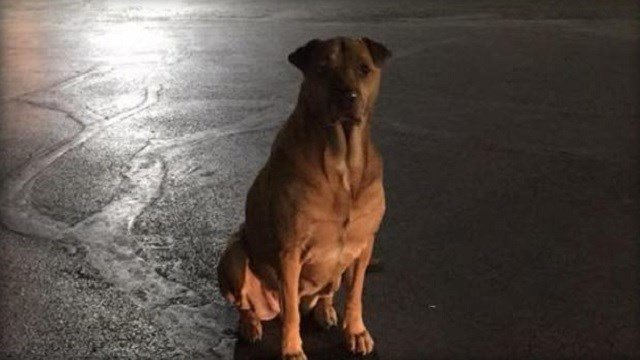 Princess the dog pretends to be a stray and waits outside a McDonald's in Oklahoma City, where people give her free food. (Betsy Reyes)