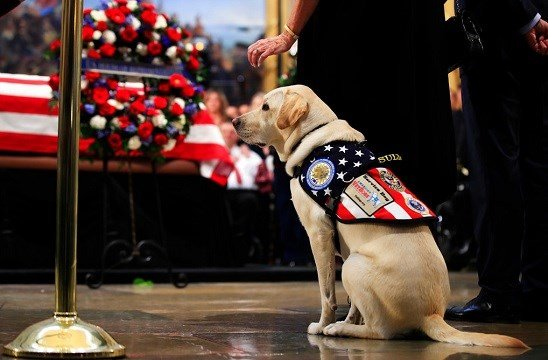 Sully, former President George H.W. Bush's service dog, pays his respect to President Bush as he lie in state at the U.S. Capitol in Washington, Tuesday, Dec. 4, 2018. (AP Photo/Manuel Balce Ceneta)
