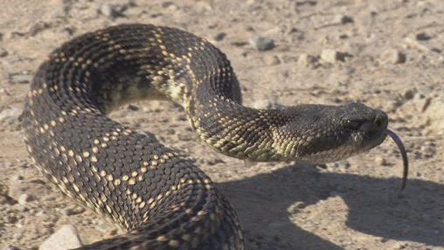 'Snake season' coming to San Diego according to removal expert