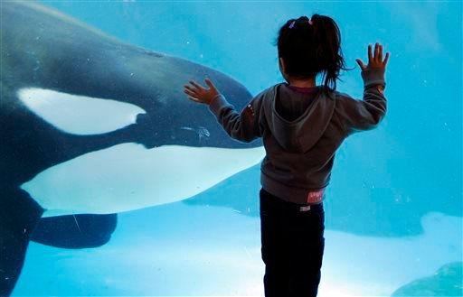 In this Nov. 30, 2006, file photo, a young girl watches through the glass as a killer whale passes by while swimming in a display tank at SeaWorld, in San Diego.