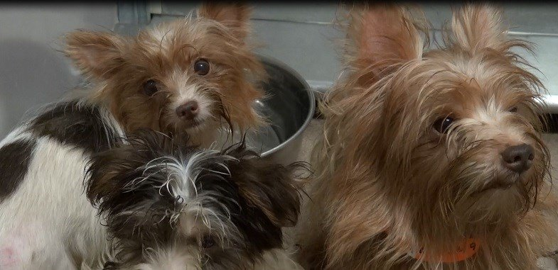 yorkie adoption san diego poway couple accused of hoarding 180 yorkies ordered to 1855