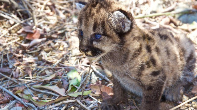 California news cbs news 8 san diego ca news station kfmb researchers discover 4 mountain lion kittens in santa monica mountains spiritdancerdesigns Images