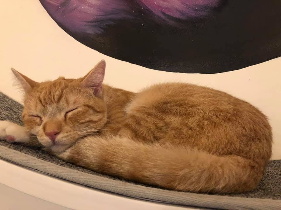 North San Diego Gets a Cat Cafe